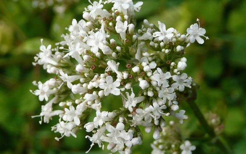 Der Baldrian ist bekannt für seine beruhigende Wirkung und schön im Garten !