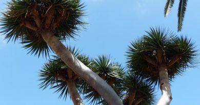 Drachenbaum und seine Heiwirkung